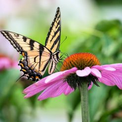 Tiger Swallowtail butterfly sipping nectar from Purple Coneflower