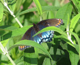 Red Spotted Purple Butterfly Basking on Butterfly Garden Plant