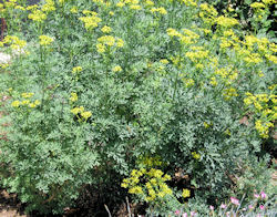 Rue Plants (Ruta graveolens) in Flower