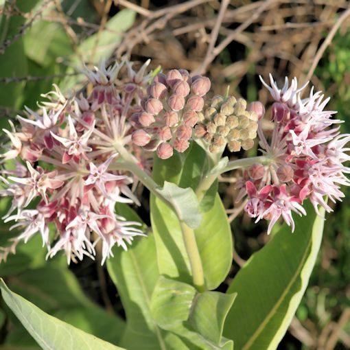Showy milkweed plant