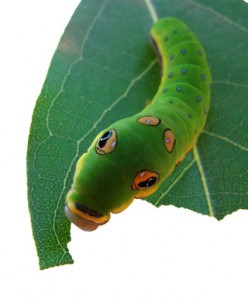 Spicebush Swallowtail Caterpillar eating on Camphor Tree