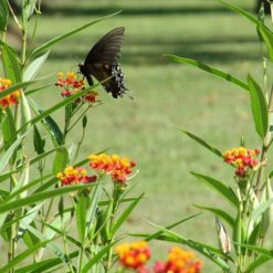 Swallowtail Butterfly visiting Ascelpias curassavica