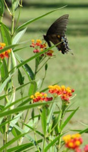 Swallowtail Butterfly on Tropical Milkweed