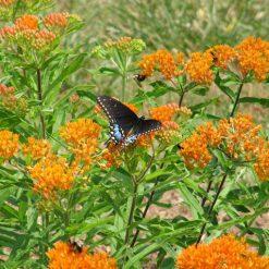 swallowtailonbutterflyweed