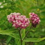 The Flowers of Swamp Milkweed