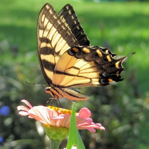 Zinnia elegans in a butterfly garden being visited by a Tiger Swallowtail butterfly
