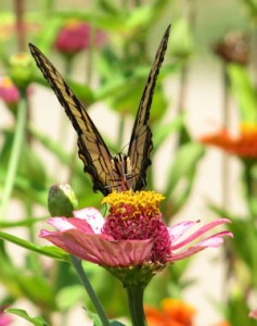 Tiger Swallowtail on Zinnia in a Butterfly Garden