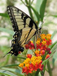 tigerswallowtailtropicalmilkweed