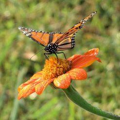 tithonia monarch