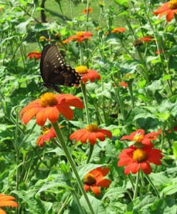 Mexican Sunflower with a Swallowtail
