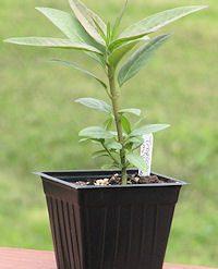 tropicalmilkweedplant