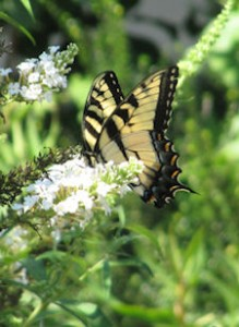 Tiger Swallowtail butterfly visiting a buddleia