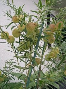 Gomphocarpus physocarpus, Swan plant