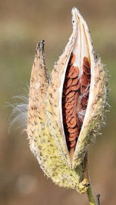 Common Milkweed Seeds