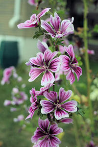 Malva sylvestris (Tall Mallow)