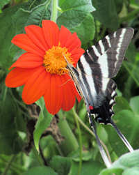 Zebra Swallowtail Butterfly on a tithonia flower