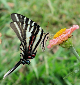 Zebra Swallowtail butterfly attracted to zinnia