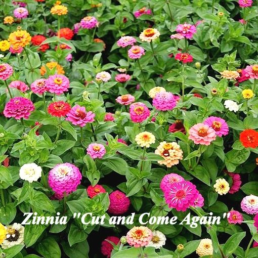 zinnia cut and come again
