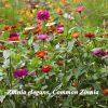 Zinnia seeds flowers