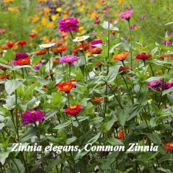 Zinnia seeds flowers