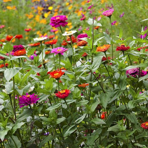 Zinnia Elegans Seeds For Your Butterfly Garden