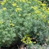 A group of Common Rue (Ruta graveolens) plants