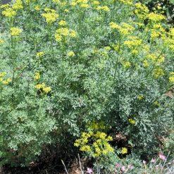 A group of Common Rue (Ruta graveolens) plants