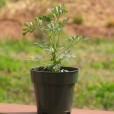 Size of Rue Plant for Sale