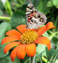 An American Lady Butterfly on Tithonia Torch