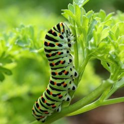 Black Swallowtail Butterfly Caterpillar on Curled Parsley