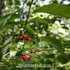 Spicebush plant berries