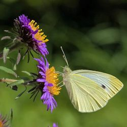 Cabbage White Butterfly Visiting New England Aster