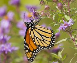 Monarch Butterfly Visiting New England Aster