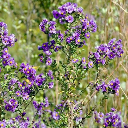 New England Aster plants for the butterfly garden