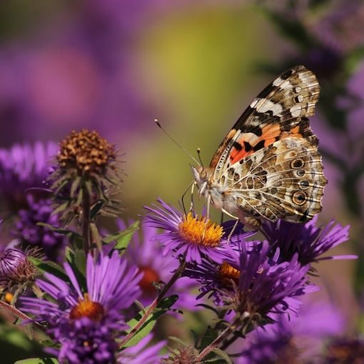 New England Aster Seeds creat a plant attractive to a Painted Lady Butterfly