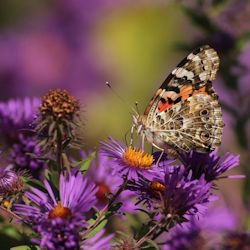 Painted Lady Butterfly on Aster