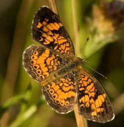 Pearl Crescent Butterfly in the Garden