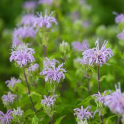 Wild Bergamot flowers