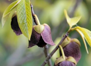 Flower of a Papaw tree (Asimina triloba)