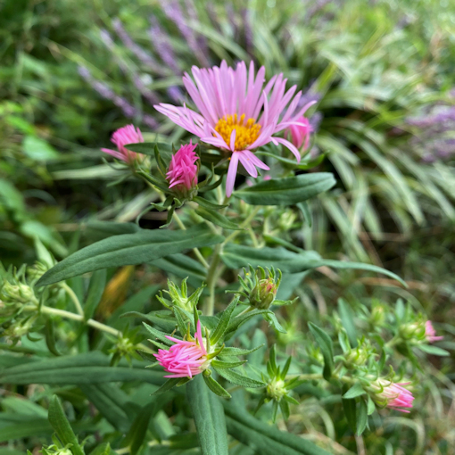 Pink New England Aster