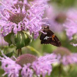 A Butterfly Enjoying Bee Balm