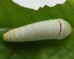 Zebra Swallowtail Caterpillar on Pawpaw Tree Leaf