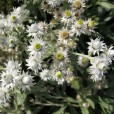 Pearly Everlasting Host and Nectar Plant
