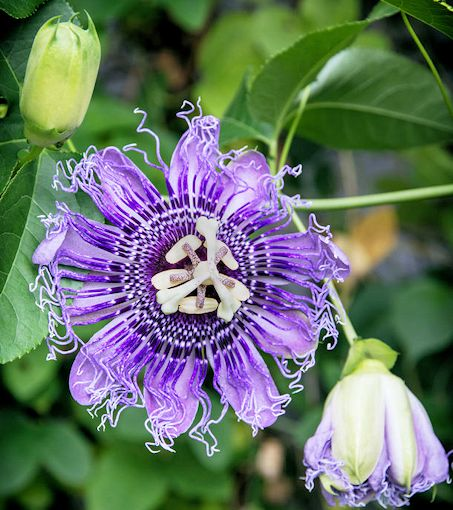 purple passionflower vine