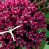 Asclepias purpurascens flowers