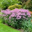 Eupatorium maculatum in a garden setting