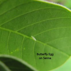 senna egg
