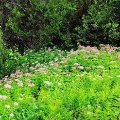 Eupatorium purpureum in woodland setting