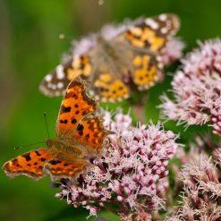 eutrochium purpureum with butterflies