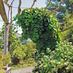 dutchmans pipevine